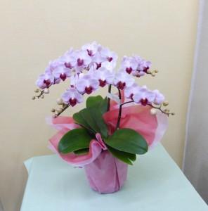 お誕生日にピンクの可愛いコチョウランリトルジェム