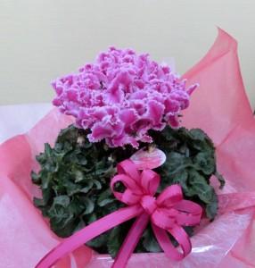 【いい夫婦の日】11月22日にプレゼント☆シクラメン
