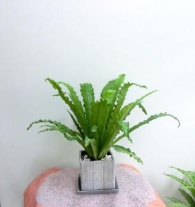 【観葉植物】サマーギフトに「タニワタリ」02