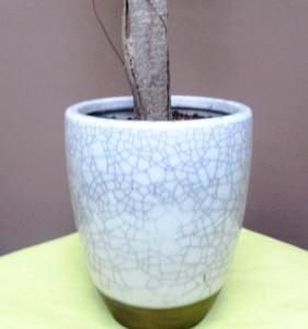 【観葉植物】お洒落でスマートなガジュマルパンダ02
