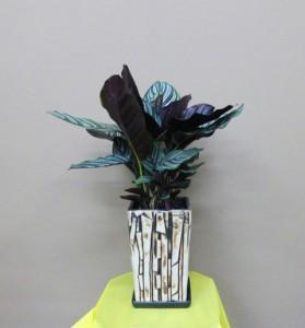 【観葉植物】お父さんに素敵な贈り物。男の観葉「ダンディープランツ」カラテア・サンデリアーナ(組石調の器入り)