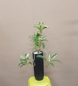 【観葉植物】白いふちどりに赤いしま模様のふにゃっと曲がったドラセナ