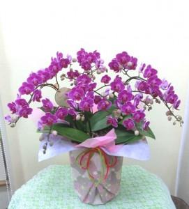 【胡蝶蘭】母の日の「ありがとうのプレゼント」03
