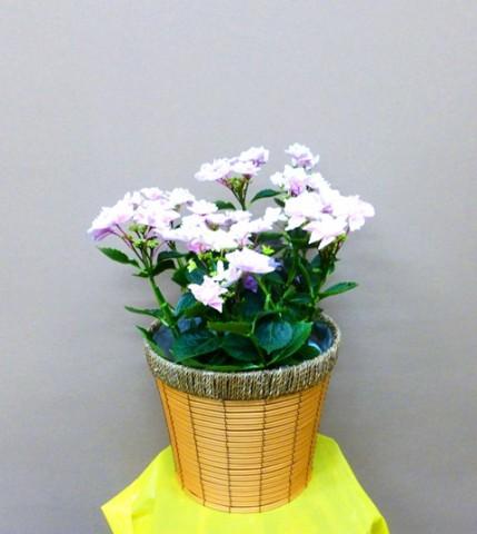 【花鉢】お母さんへプレゼント。かわいいアジサイ「きらきら星」