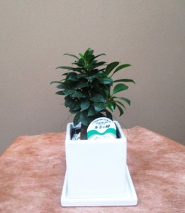 【観葉植物】多幸の木「ガジュマル」
