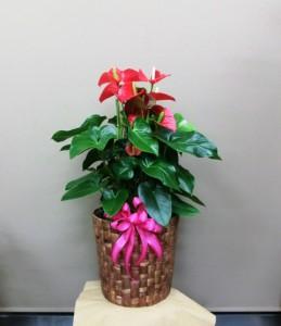 【観葉植物】真っ赤なハートがきれいなアンスリウム01