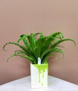 【観葉植物】父の日の贈り物 タニワタリ・オオサカ
