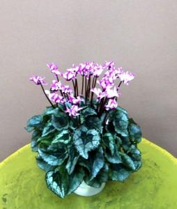 【花鉢】ウインターギフト「シクラメン[オリガミ・メティス]」