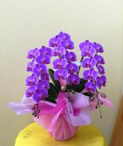 【胡蝶蘭】卒業祝いにミニコチョウラン「タンゴ」