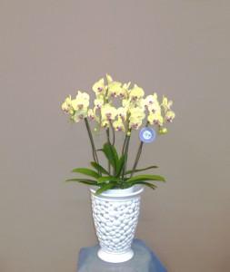 【胡蝶蘭】透かし彫りの器とコチョウラン「ゴールドクイーン」