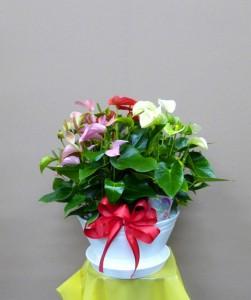 【花鉢】お中元に3色入りアンスリューム