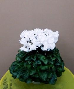 【花鉢】ウインターギフト「シクラメン[ひらりホワイト]」