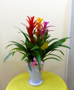 【花鉢】ゴールデンウイーク・お母さんへのプレゼント「カラフルなグズマニア」