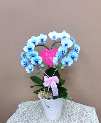 【胡蝶蘭】ハート型のコチョウラン「ブルーライトハート」