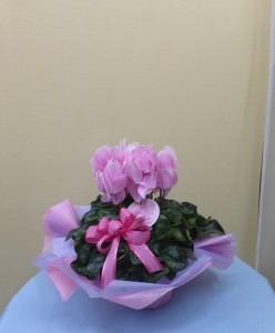 花のお歳暮 シクラメン ランジェリーピンク