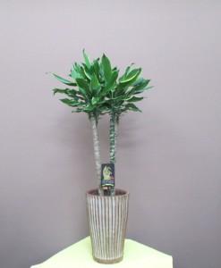 【観葉植物】オープンのお祝いに恰好良いドラセナゴールドコースト