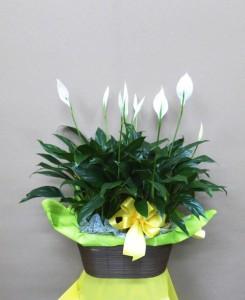 【花鉢】夏の贈り物・スパティフィラムの寄せ植え