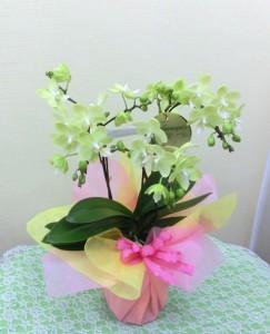 【胡蝶蘭】母の日の「ありがとうのプレゼント」02
