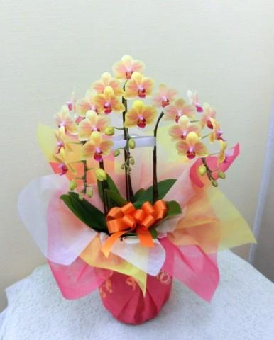 【胡蝶蘭】いい夫婦の日☆オレンジ色のミニコチョウラン