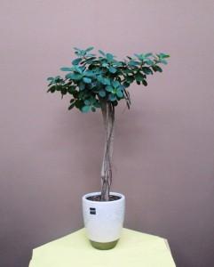 【観葉植物】お洒落でスマートなガジュマルパンダ01