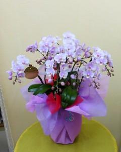 【胡蝶蘭】お母さんに贈ろう、可愛いピンクのミニコチョウラン。