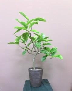 【観葉植物】居酒屋の開店祝いに「フィカス・アルテシーマ」