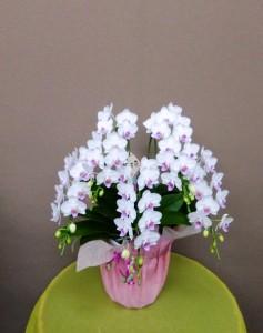 【胡蝶蘭】フラワーバレンタインで女性に贈るコチョウラン