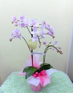【胡蝶蘭】母の日の「ありがとうのプレゼント」01
