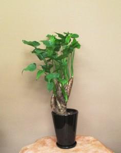 【観葉植物】青々と茂るシマクワズイモ