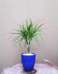 【観葉植物】青い器とドラセナ・マジナータゴールド
