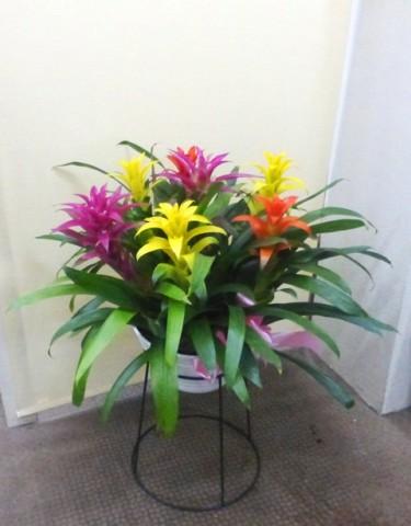 【花鉢】カラフルな大きなグズマニア01
