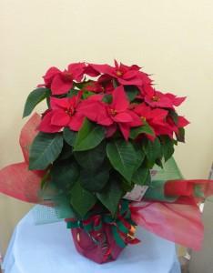 メリークリスマス 真っ赤な贈り物 ポインセチア