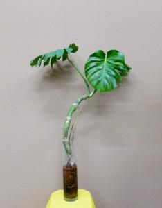 【観葉植物】細長いガラスの花瓶とハイドロカルチャー「モンステラ」