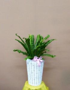 【観葉植物】美容室のオープンに大人気のアスプレニウム プリカーツム・アカキ