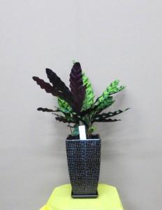 【観葉植物】まだ間に合う、お父さんに素敵な贈り物。男の観葉「ダンディープランツ」カラテア・インシグニス(クロコダイル調の器入り)