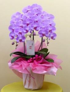 事務所のオープンに中輪ピンクの可愛い胡蝶蘭