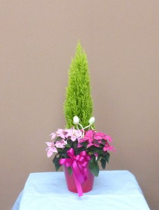 冬の贈り物 かわいいプリンセチアのアクアソイル植え