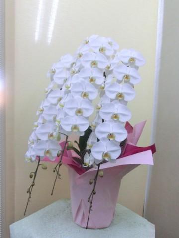 胡蝶蘭:白