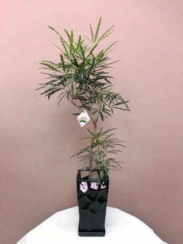 【観葉植物】年中飾っておけるアラレア(ディジゴセカ)02