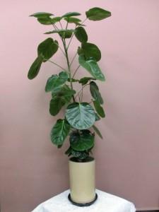 【絹目調シリーズ】と~っても珍しい観葉植物「フリスビー」01