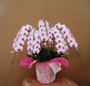 【胡蝶蘭】大輪でとてもきれいな蘭「さがのはな」01
