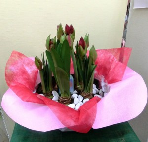 【花鉢】5本立ちの立派なアマリリス