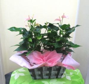 【観葉植物】真っ赤なアンスリウムにピンクのアンスリウム02
