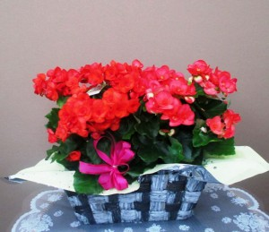 【花鉢】いろんな色のベゴニア02