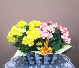 【花鉢】いろんな色のベゴニア01