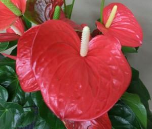 【観葉植物】真っ赤なハートがきれいなアンスリウム02