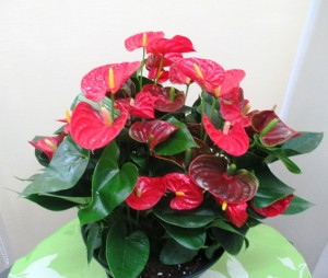 【観葉植物】真っ赤なアンスリウムにピンクのアンスリウム01