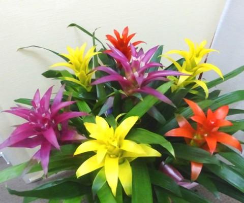 【花鉢】カラフルな大きなグズマニア02