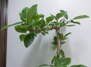【観葉植物】変わった形のゴムの木「フィカス・アルテシーマ」02