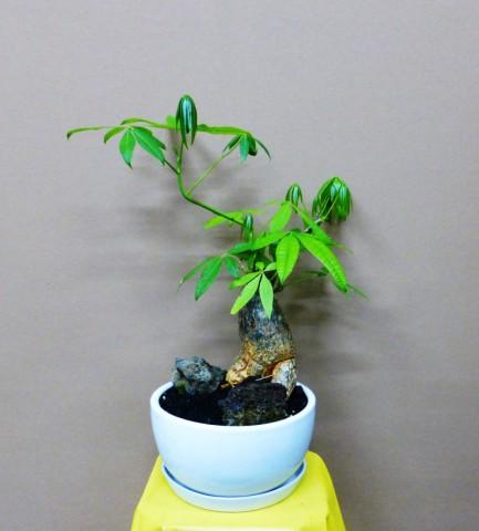 【観葉植物】根っこのいがんだパキラと火山石